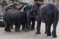 Asiatische Elefanten, Hannover, 31.12.2012 © by akkifoto.de