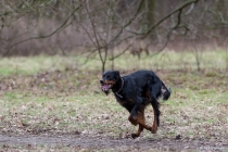 Gordon Setter unterwegs, Hannover, 03.02.2013 © by akkifoto.de