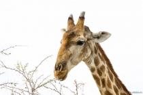 Giraffe im Etosha NP, Oshikoto, 12.10.2013 © by akkifoto.de