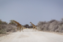 Giraffen im Etosha NP, Oshikoto, 12.10.2013 © by akkifoto.de