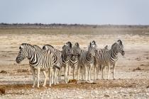 Zebras am Nebrownii Waterhole, Oshikoto, 13.10.2013 © by akkifoto.de