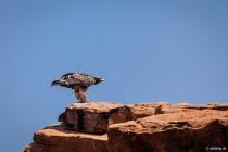Junger Adler, Twyfelfontein, Kunene, 16.10.2013 © by akkifoto.de