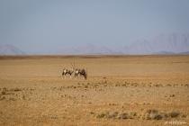 Gemsböcke in der Namib, Hardap, 18.10.2013 © by akkifoto.de