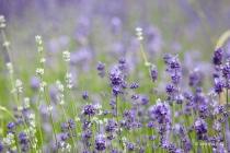 Lavendel, Fromhausen, 26.06.2021 © by akkifoto.de
